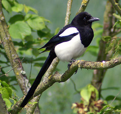 animal, branch, fauna, beak, eurasian magpie, bird, wildlife,