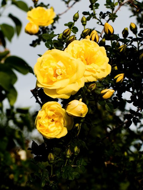 yellow rose of texas flickr photo sharing. Black Bedroom Furniture Sets. Home Design Ideas