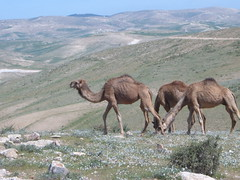 animal, steppe, mammal, herd, grazing, fauna, natural environment, camel, arabian camel, grassland, wildlife,