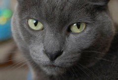 nose, animal, british shorthair, small to medium-sized cats, pet, snout, european shorthair, fauna, chartreux, close-up, cat, korat, burmese, carnivoran, whiskers, nebelung, russian blue, domestic short-haired cat,