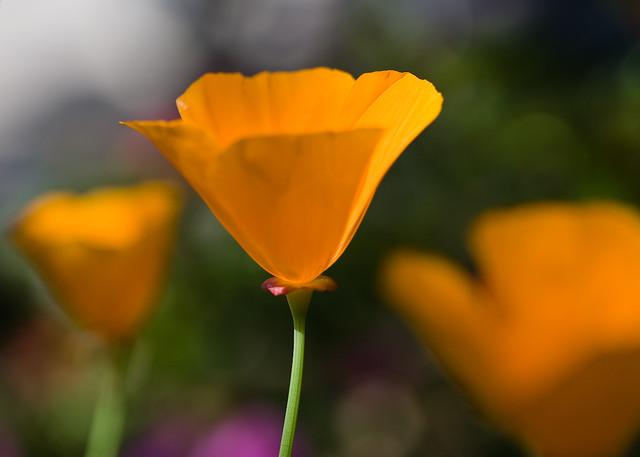 California Poppy Painting