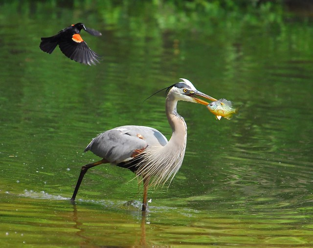 Red-Winged Blackbird Observes Great Blue Heron Catching Fish...Part Three of Four...The Getaway