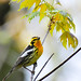 Blackburnian Warbler - Photo (c) Gavan Watson, some rights reserved (CC BY-NC-SA)
