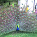 Small photo of Pavo Real