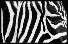 Black&Wite Zebra