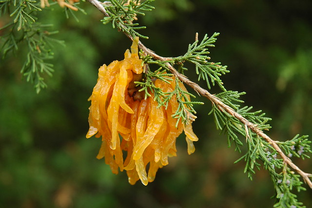 Orange Spore Horns (Cedar Apple Rust)