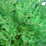 tomillo (Thymus vulgaris )2007-04-09 lun -huerta (4707).JPG
