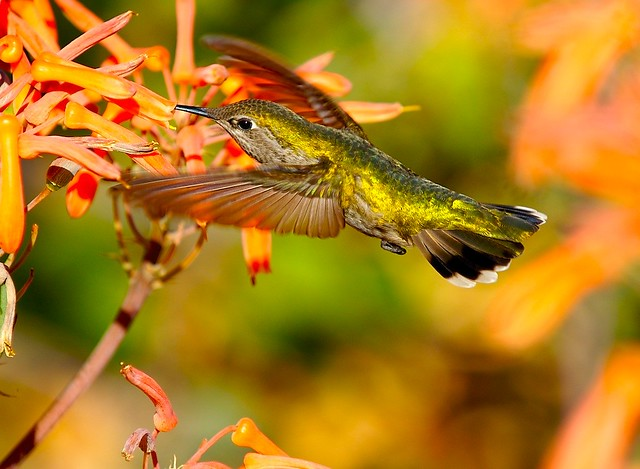 Hummingbird 21 (Wings)