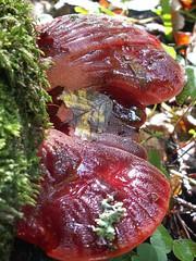 leaf, red, mushroom, auricularia, auriculariales, flora, fungus, lingzhi mushroom,