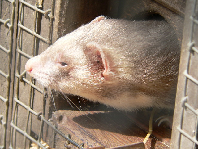 Polecat Definition Meaning
