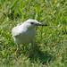 Small photo of Albino Mockingbird
