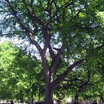 NYC - East Village: Tompkins Square Park - Hare Krishna Elm Tree
