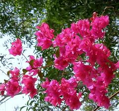 annual plant, blossom, flower, plant, flora, pink, petal, azalea,