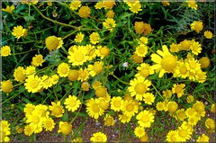 common tansy(0.0), chrysanths(0.0), annual plant(1.0), shrub(1.0), flower(1.0), yellow(1.0), plant(1.0), chamaemelum nobile(1.0), tanacetum parthenium(1.0), subshrub(1.0), wildflower(1.0), flora(1.0), produce(1.0),