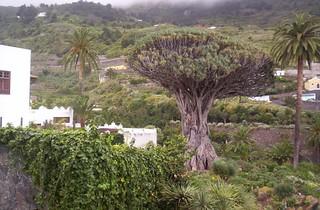 Imagine de Drago Milenario lângă Icod de los Vinos. geotagged spain tenerife canaryislands islascanarias icod geo:lat=28366556 geo:lon=16722256