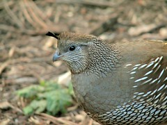 animal, quail, fauna, close-up, beak, bird, galliformes, wildlife,