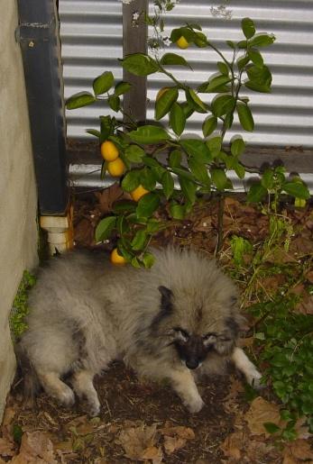 Lemon tree with reclining dog