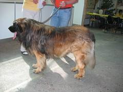 dog breed(1.0), animal(1.0), dog(1.0), leonberger(1.0), pet(1.0), carnivoran(1.0),