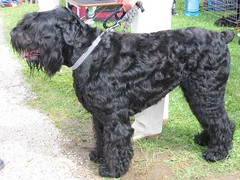 pumi(0.0), lagotto romagnolo(0.0), tibetan terrier(0.0), glen of imaal terrier(0.0), poodle crossbreed(0.0), schnauzer(0.0), cesky terrier(0.0), cockapoo(0.0), miniature poodle(1.0), dog breed(1.0), animal(1.0), dog(1.0), schnoodle(1.0), pet(1.0), giant schnauzer(1.0), standard schnauzer(1.0), guard dog(1.0), black russian terrier(1.0), bouvier des flandres(1.0), kerry blue terrier(1.0), cã£o da serra de aires(1.0), portuguese water dog(1.0), carnivoran(1.0),