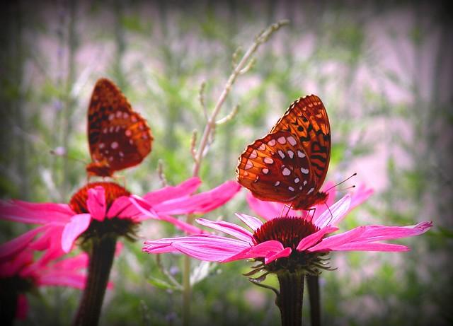 Butterfly Duo 3 Lomo Effect