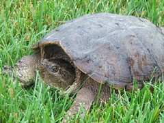 animal, turtle, box turtle, reptile, fauna, common snapping turtle, chelydridae, wildlife, tortoise,