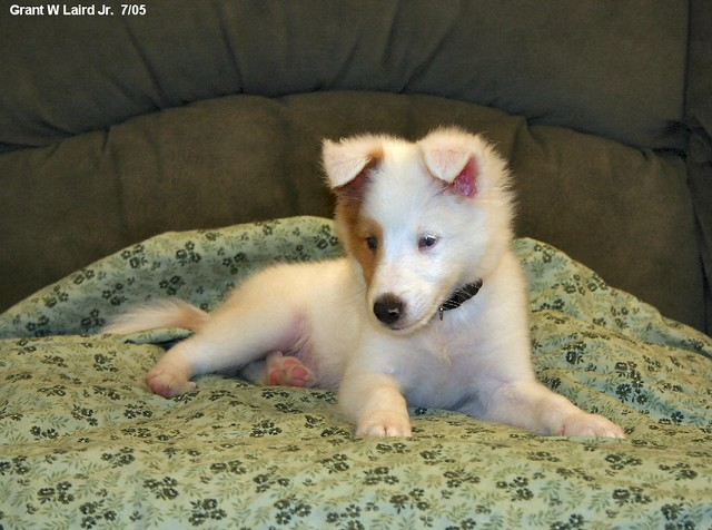 Deaf Sheltie puppy, by grantlairdjr