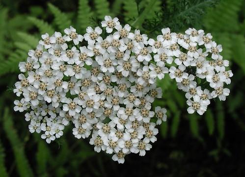 Aromaterapia e olio essenziale di Achillea
