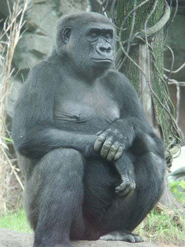 image of Gorilla sitting like a Man