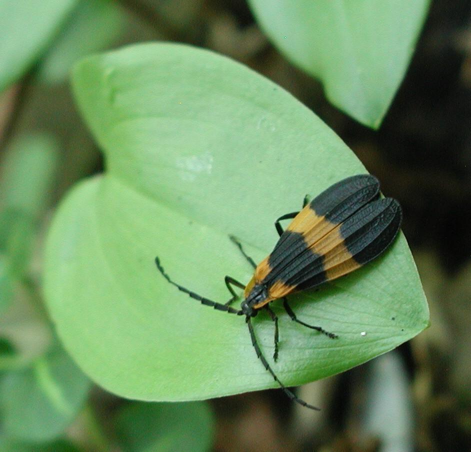 Lycidae image
