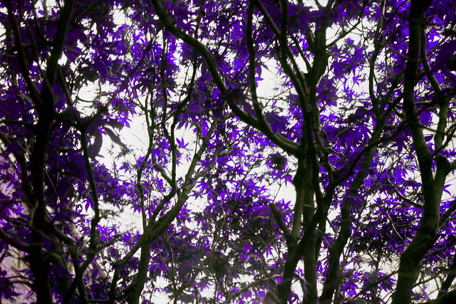 Trees with Purple Leaves