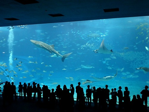 Whale Shark At Okinawa Churaumi Aquarium Okinawa Japan