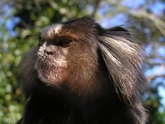 Chimp...