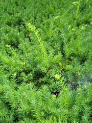 larch(0.0), flower(0.0), tree(0.0), temperate coniferous forest(0.0), spruce(0.0), evergreen(1.0), shrub(1.0), southernwood(1.0), plant(1.0), subshrub(1.0), herb(1.0), biome(1.0),