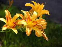 neighbors' lilies2