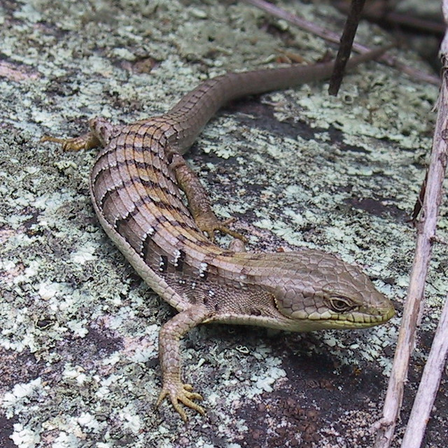 Northern Alligator Lizard | Flickr - Photo Sharing!