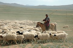 animal, prairie, steppe, field, sheeps, sheep, plain, mammal, shepherd, herd, grazing, fauna, herding, pasture, grassland,