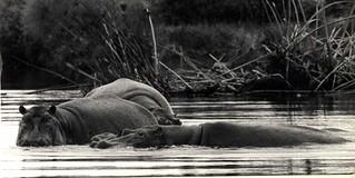 Hippos Lake Victoria, Kenya 1971