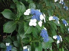 shrub(1.0), flower(1.0), hydrangea serrata(1.0), plant(1.0), hydrangeaceae(1.0),