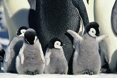 animal(1.0), penguin(1.0), flightless bird(1.0), king penguin(1.0), bird(1.0),