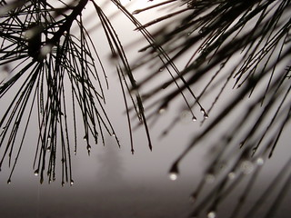 dew on pines