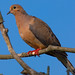 Mourning Dove - Photo (c) Eric Heupel, some rights reserved (CC BY-NC)