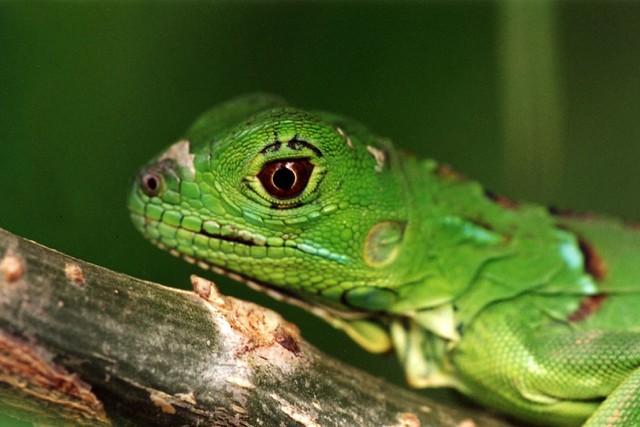 Baby Green Iguana | Flickr - Photo Sharing! - photo#17