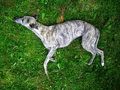dog sports(0.0), animal sports(0.0), sports(0.0), animal(1.0), hound(1.0), dog(1.0), whippet(1.0), galgo espaã±ol(1.0), saluki(1.0), sloughi(1.0), pet(1.0), mammal(1.0), lurcher(1.0), greyhound(1.0),