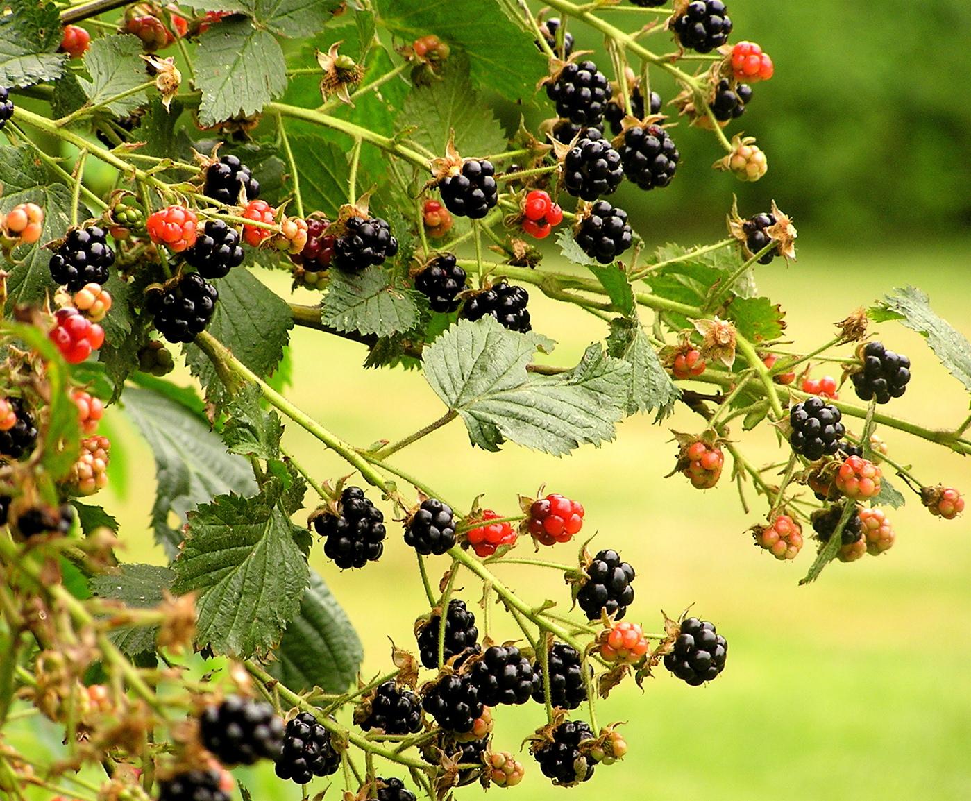 Wild Backyards : backyard wild blackberries  Flickr  Photo Sharing!
