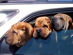 dog breed(1.0), animal(1.0), dog(1.0), dogue de bordeaux(1.0), pet(1.0), mammal(1.0), shar pei(1.0),