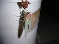 cicada emerges-6