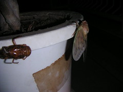 cicada emerges-10