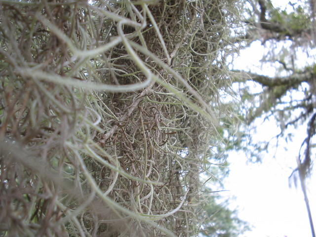 spanish moss Up Close | Flickr - Photo Sharing!