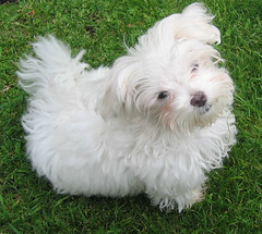 dandie dinmont terrier(0.0), bichon frisã©(1.0), dog breed(1.0), animal(1.0), dog(1.0), cavachon(1.0), schnoodle(1.0), pet(1.0), coton de tulear(1.0), lã¶wchen(1.0), bolonka(1.0), poodle crossbreed(1.0), havanese(1.0), lhasa apso(1.0), morkie(1.0), bichon(1.0), chinese imperial dog(1.0), maltese(1.0), bolognese(1.0), carnivoran(1.0),