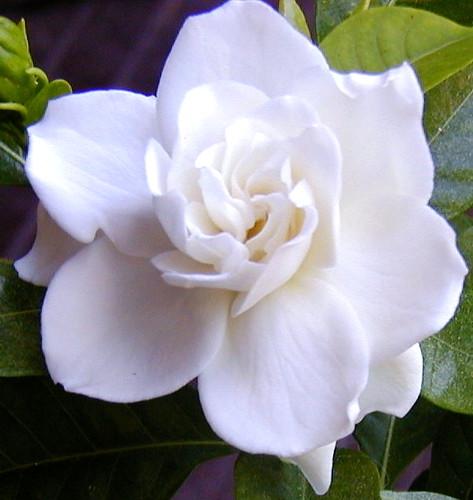 Gardenia wiki for Drap housse wiki